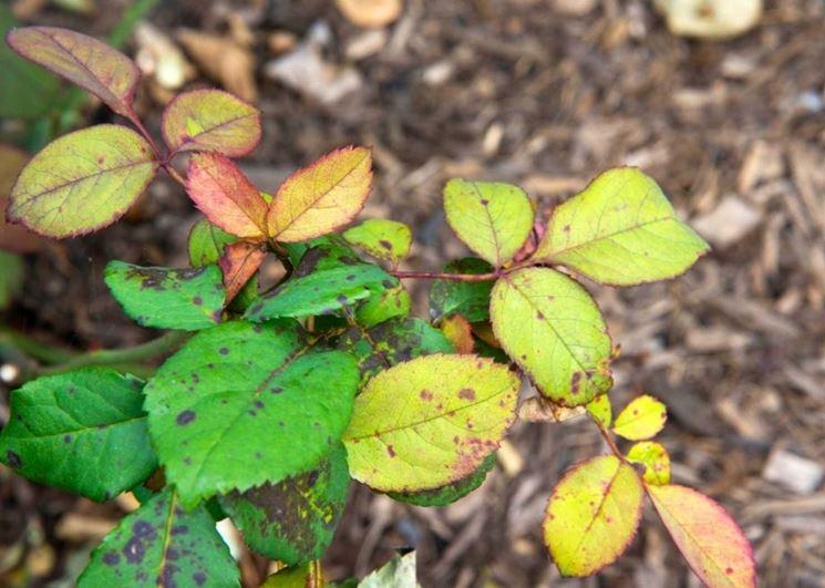 Malattie fungine rosa