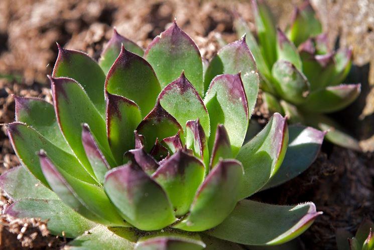 cura piante succulente