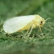 esemplare mosca bianca
