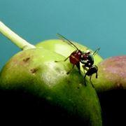 mosca dell' olivo