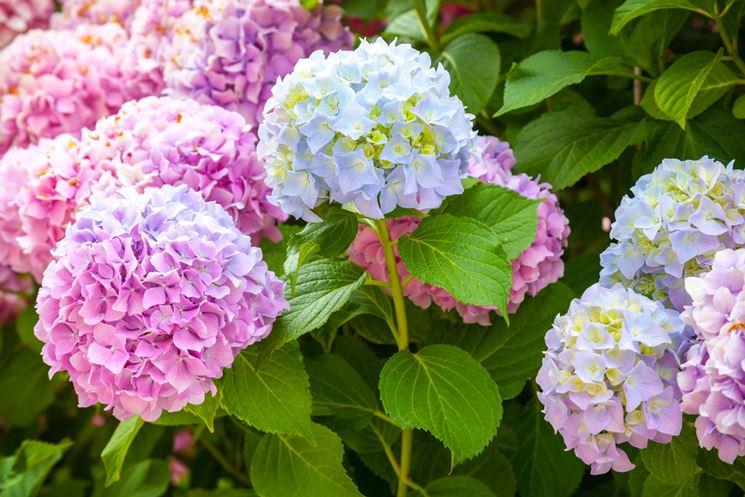 fiori ortensie