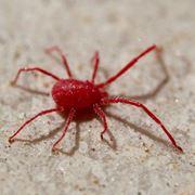 ragni rossi