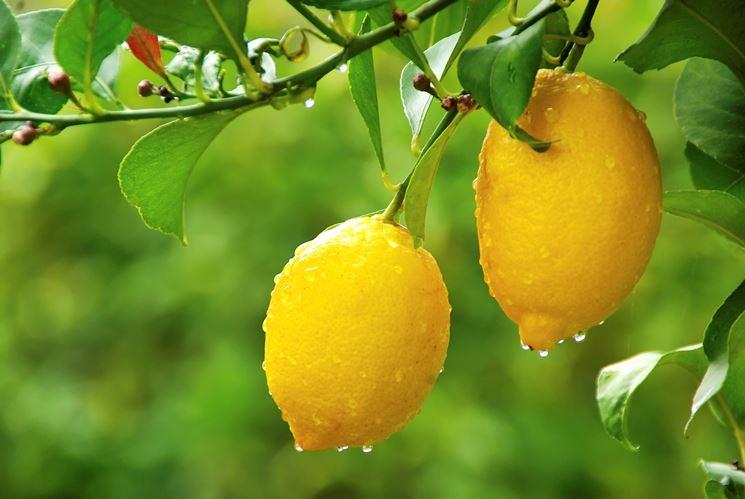 Come potare il limone potatura potatura limone for Pianta di limone