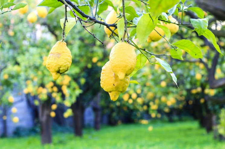 coltivare limoni