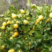succhioni del limone