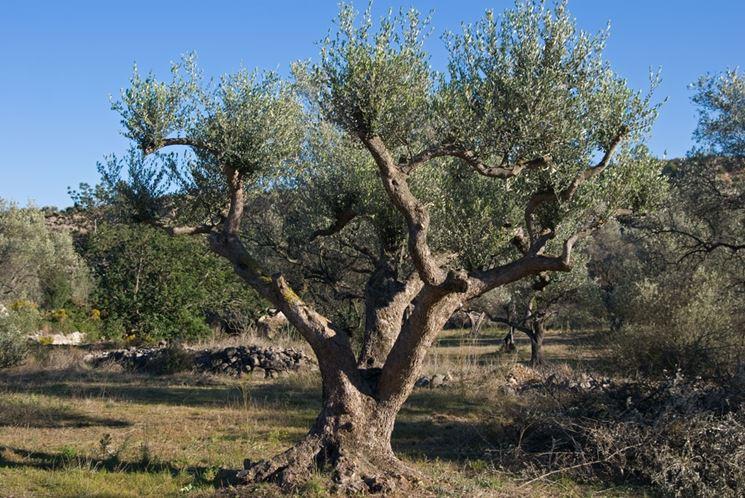 Potare gli ulivi potatura potatura ulivo for Quando piantare alberi da frutto
