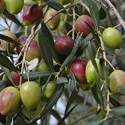 come potare gli ulivi