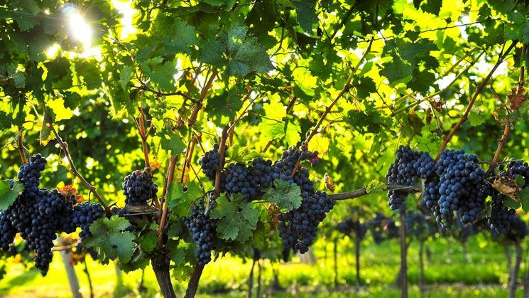 esempio di viti con uva