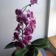 potare orchidea