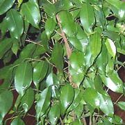 Potatura kiwi potatura consigli per la potatura del kiwi for Potatura ficus benjamin