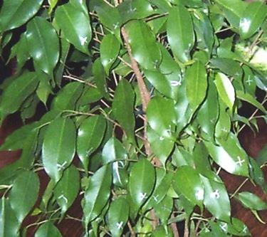 Potatura Ficus Benjamin Potatura