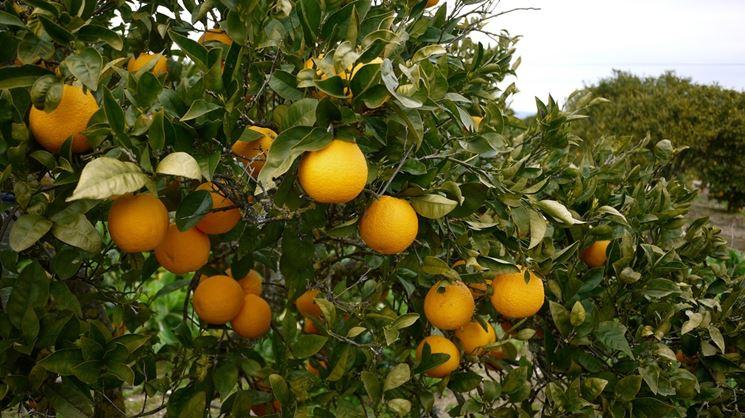 arance su pianta