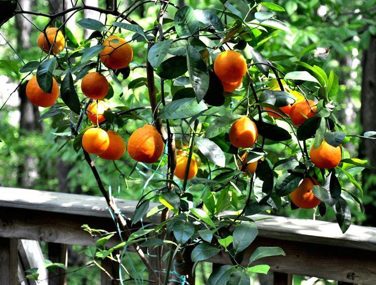 arancio in vaso