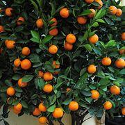 potatura arancio potatura come potare il vostro arancio
