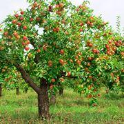 potare melo