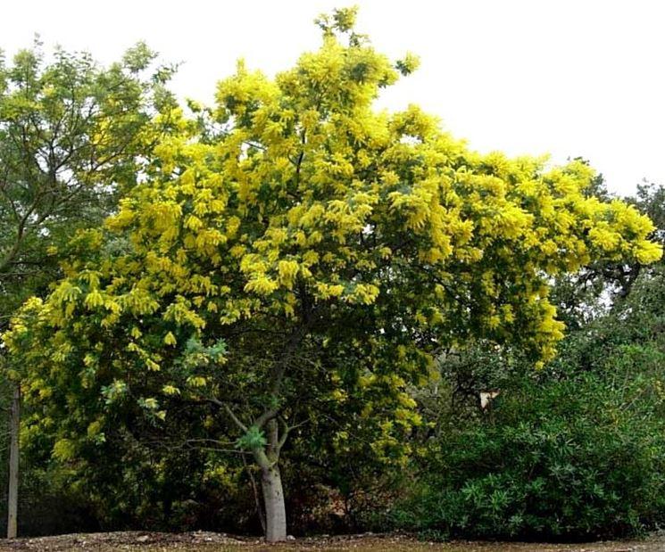 alberi a crescita rapida alberi tipologie di alberi a