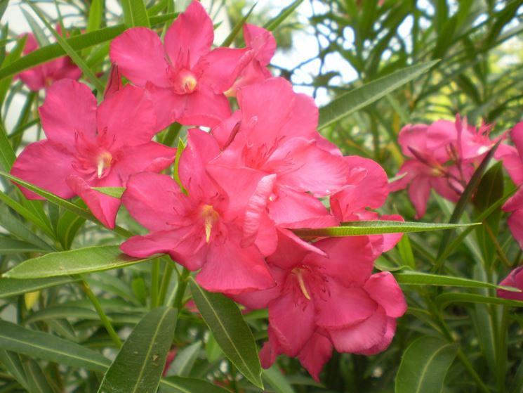 fiori oleandro