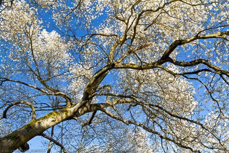 magnolia ad alto fusto