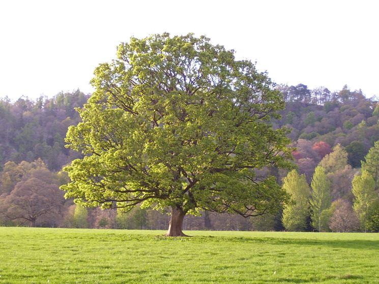 alberi alto fusto alberi alberi ornamentali
