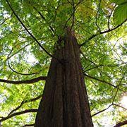 alberi alto fusto