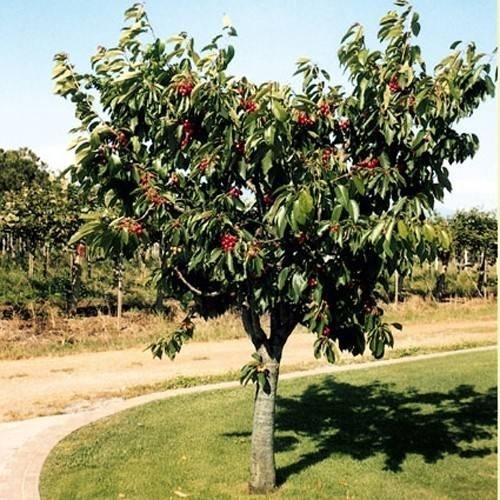 Alberi basso fusto alberi - Alberi frutto giardino ...