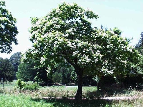 Alberi da giardino a crescita rapida alberi - Alberi particolari da giardino ...