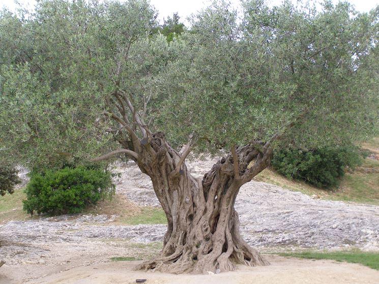 Esemplare di olivo
