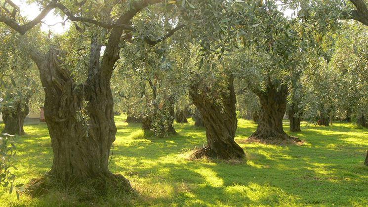Alcuni alberi di ulivo