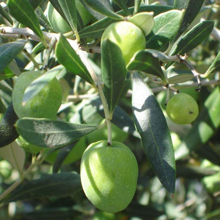Ramo di ulivo con drupe