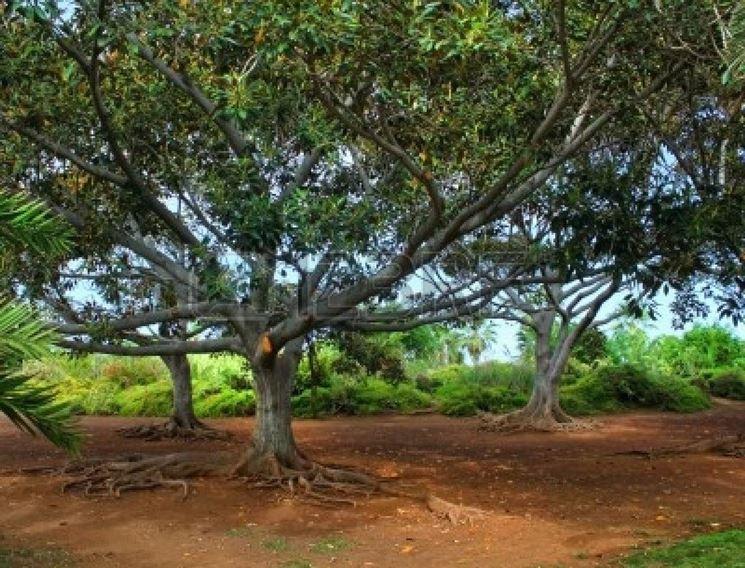 alberi esotici alberi