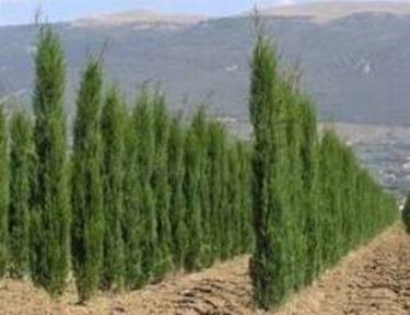 Alberi frangivento alberi for Alberi a crescita veloce