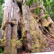 alberi giganti