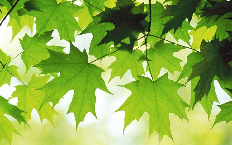 foglie di acero