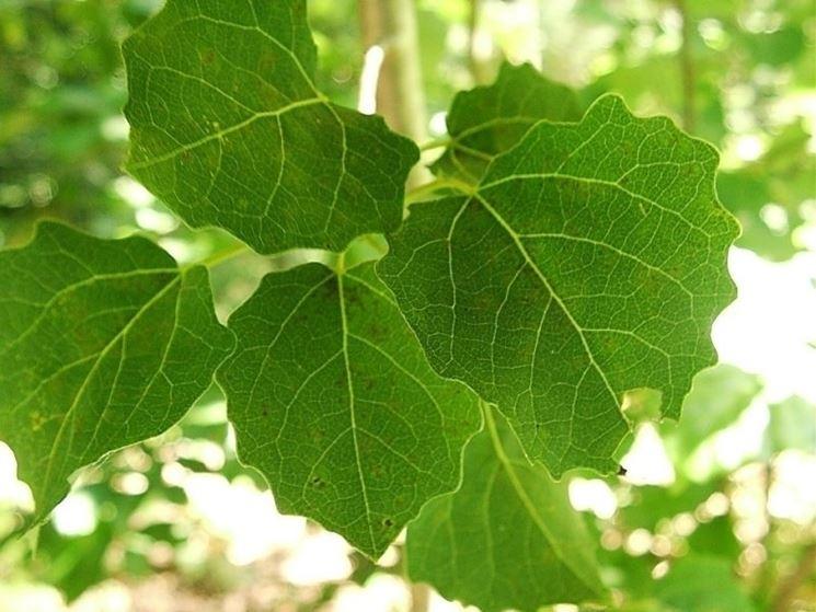 foglie di pioppo