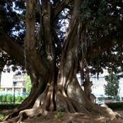 albero monumentale