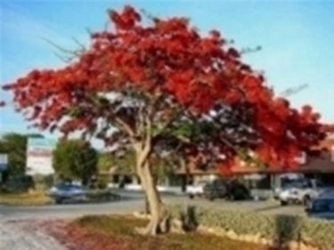 albero ornamentale