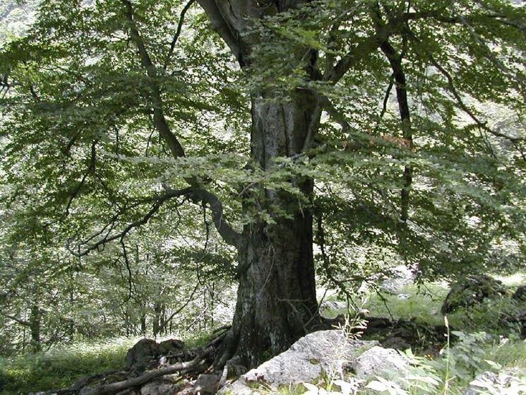 Alberi secolari alberi for Gli alberi sempreverdi
