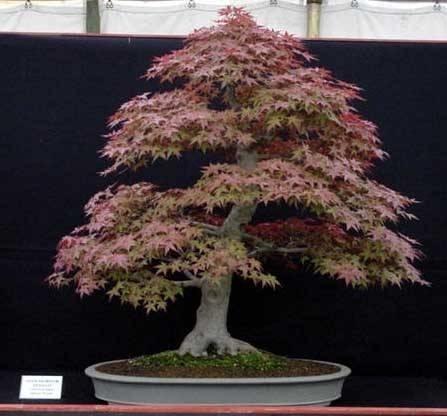 Bonsai acero giapponese bonsai for Acero bonsai vendita