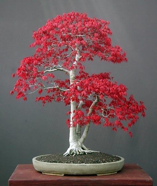 Bonsai acero rosso bonsai for Acero rosso canadese prezzo