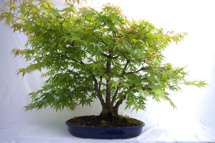 acero bonsai coltivazione