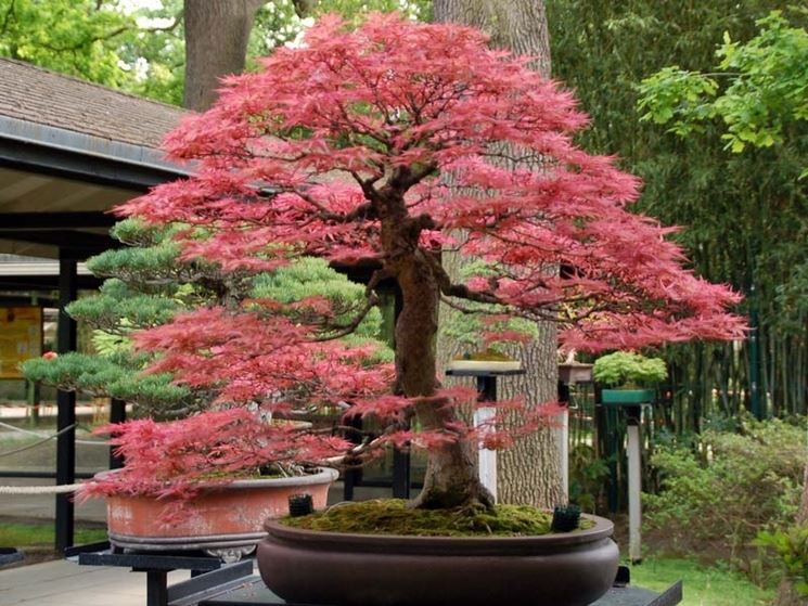 splendido acero bonsai