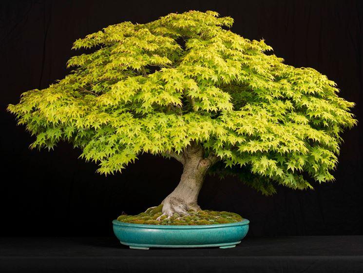 bonsai acero avvolgimento