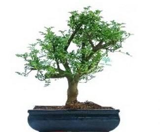 Bonsai albero del pepe bonsai for Tipi di bonsai