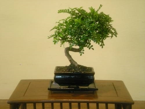 Bonsai albero del pepe bonsai for Piante per bonsai