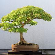 albero bonsai