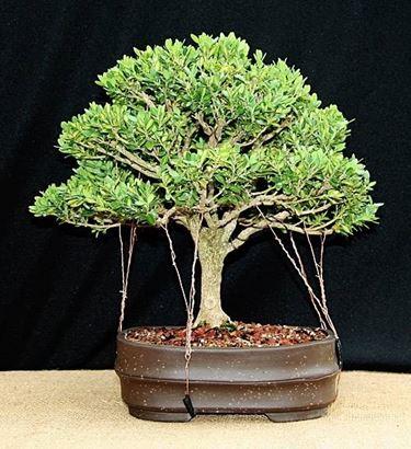 bonsai bosso