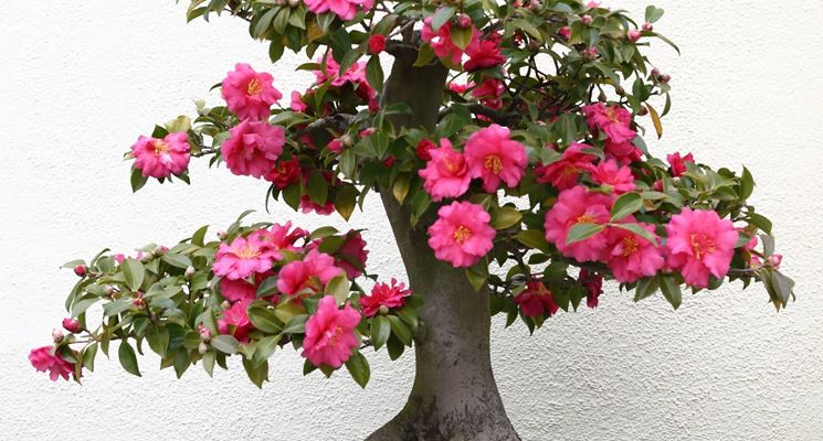 Bonsai camelia bonsai for Pianta camelia