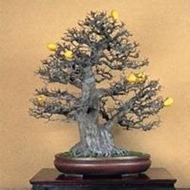 bonsai da frutto bonsai