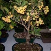 bonsai da frutto