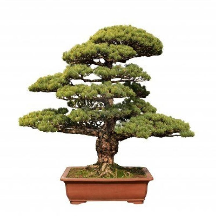 bonsai da interno bonsai